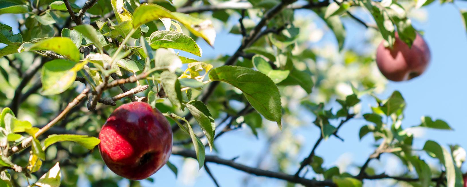 pommes - Domaine Labranche